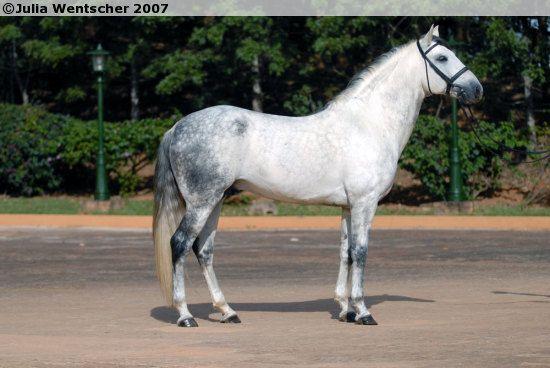 Lusitano - stallion Richebourg Interagro