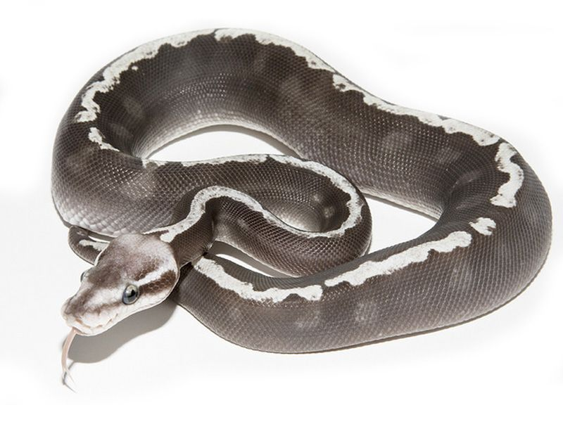40 Awesome pastel mojave ghi | Ssssnakes | Pinterest | Serpientes ...