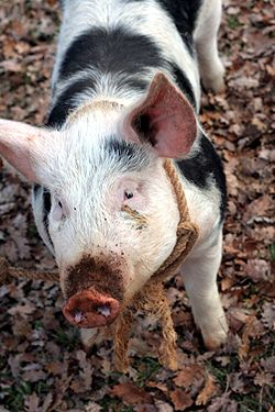 Pin By Christine Luiten On Oaky The Truffle Pig Truffle Hunting French Truffles Truffles