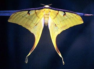 Insects Galore!: Actias Hybrids