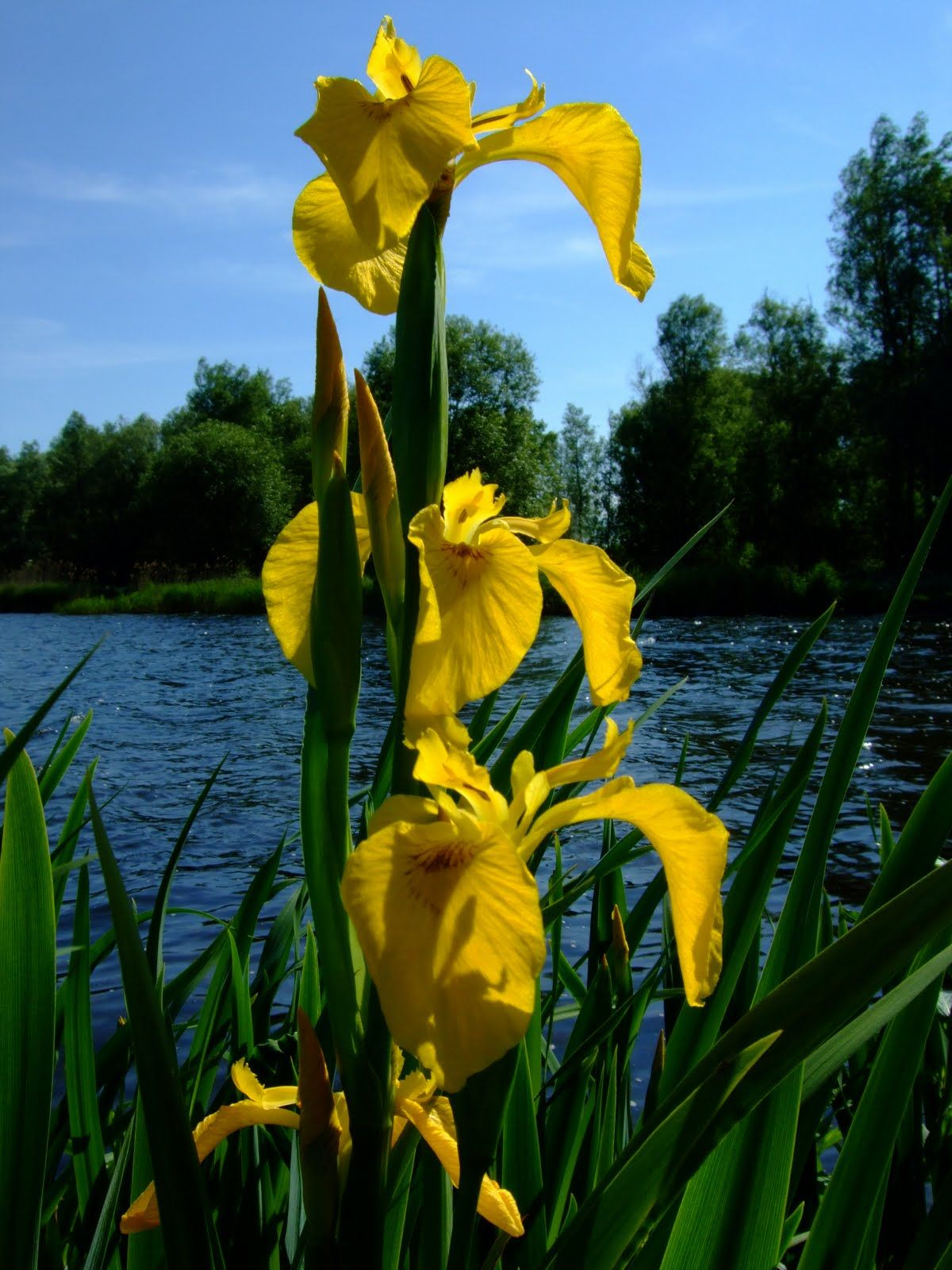 Yellow Lake Irises