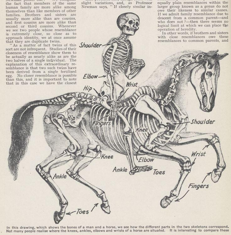 rider and horse skeleton   Tat theories   Pinterest   Skeletons ...