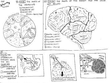Nervous System Worksheet 3rd Grade With Images Science Worksheets