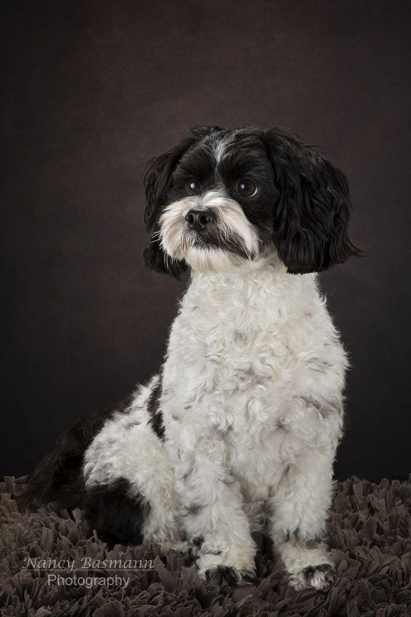 Doc Smith, Shi-Chon or Teddy Bear Dog   Binghamton Pet