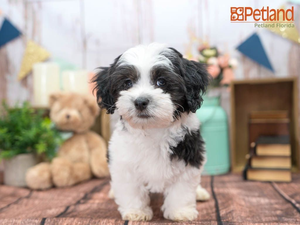 Petland Florida Has Havanese Puppies For Sale Check Out All Our Available Puppies Havanese Puppy In 2020 Havanese Puppies For Sale Havanese Puppies Puppy Friends