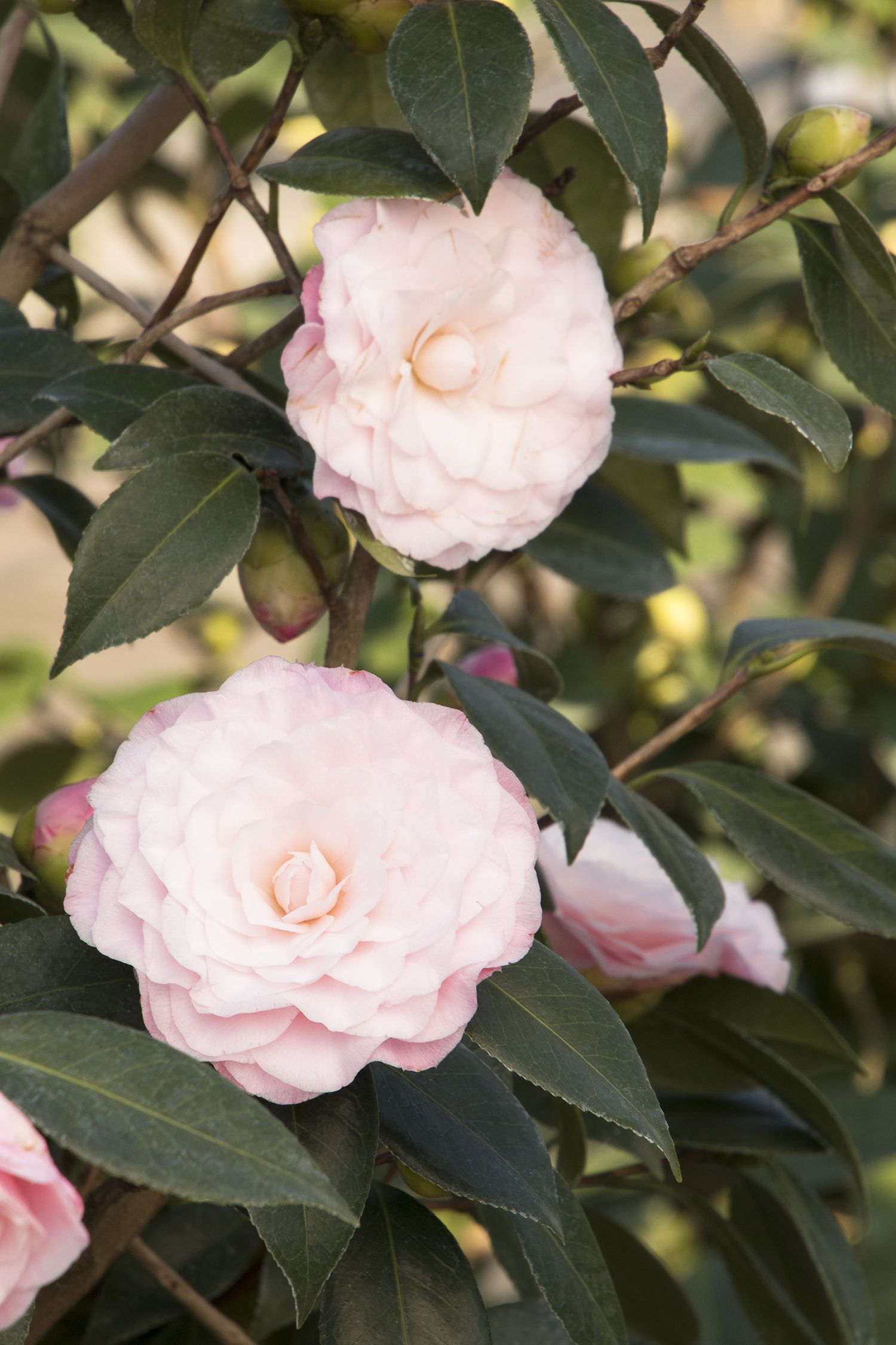 Nuccios Pearl Camellia Has Spectacular Fully Double Blooms With
