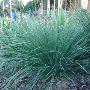 Ornamental Grasses Australia Lomandra longifolia nyalla australian native plants nursery lomandra longifolia nyalla a lovely drought tolerant ornamental grass workwithnaturefo