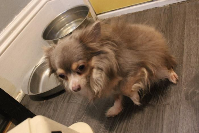 Chihuahua dog for Adoption in Rochester, MN. ADN678147 on