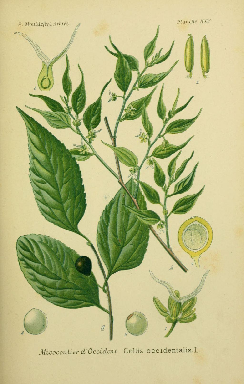 img/dessins arbres arbrisseaux/dessins arbres et arbrisseaux 0091 micocoulier d occident - celtis occidentalis.jpg