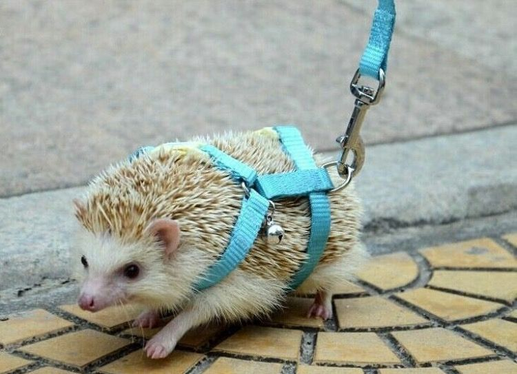 This Hedgehog Leash With The Little Bell Hedgehog Pet Cute Animals Animals