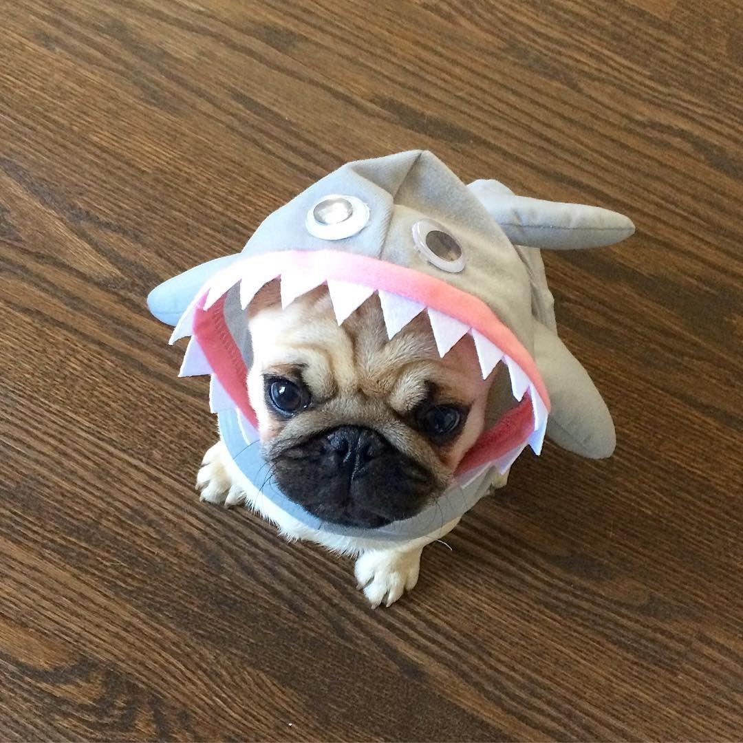 Pug Puppy In A Shark Costume Pugs Pug Dog Pug Lover