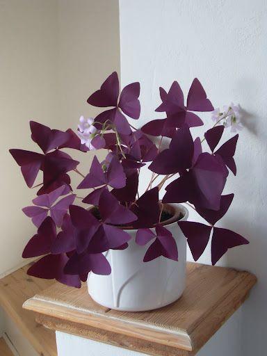 oxalis triangulaire pourpre plantes pinterest jardins jardinage et potager. Black Bedroom Furniture Sets. Home Design Ideas
