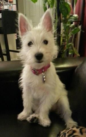 This Is Really What Most Westie Puppies Look Like Big Ears Not