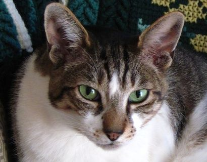Corey cat from Canada with her wild and beautiful deep green eyes.