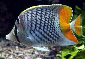 Saltwater Aquarium Butterflyfish For Sale In 2020 Marine Fish Salt Water Fish Saltwater Aquarium