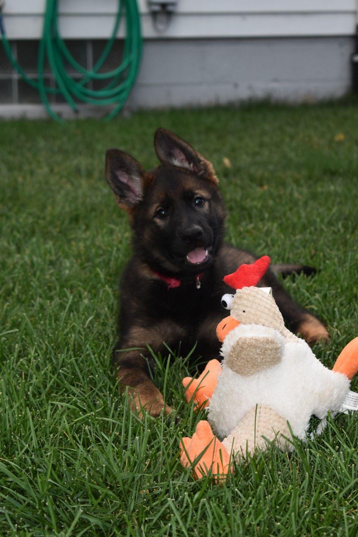 Sable german shepherd puppies michigan
