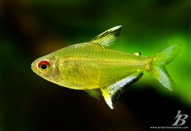 Lemon Tetra Hyphessobrycon Pulchripinnis Male Females Have Deeper Bodies Tetra Fish Aquarium Fish Beautiful Tropical Fish