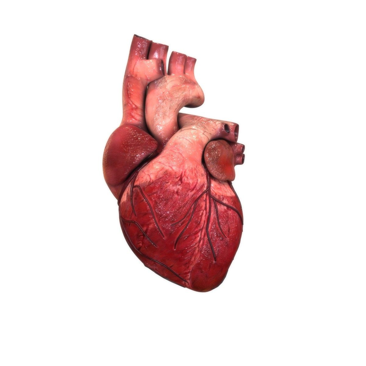 3d model human internal organs | Heart - Heart Organ | Pinterest ...