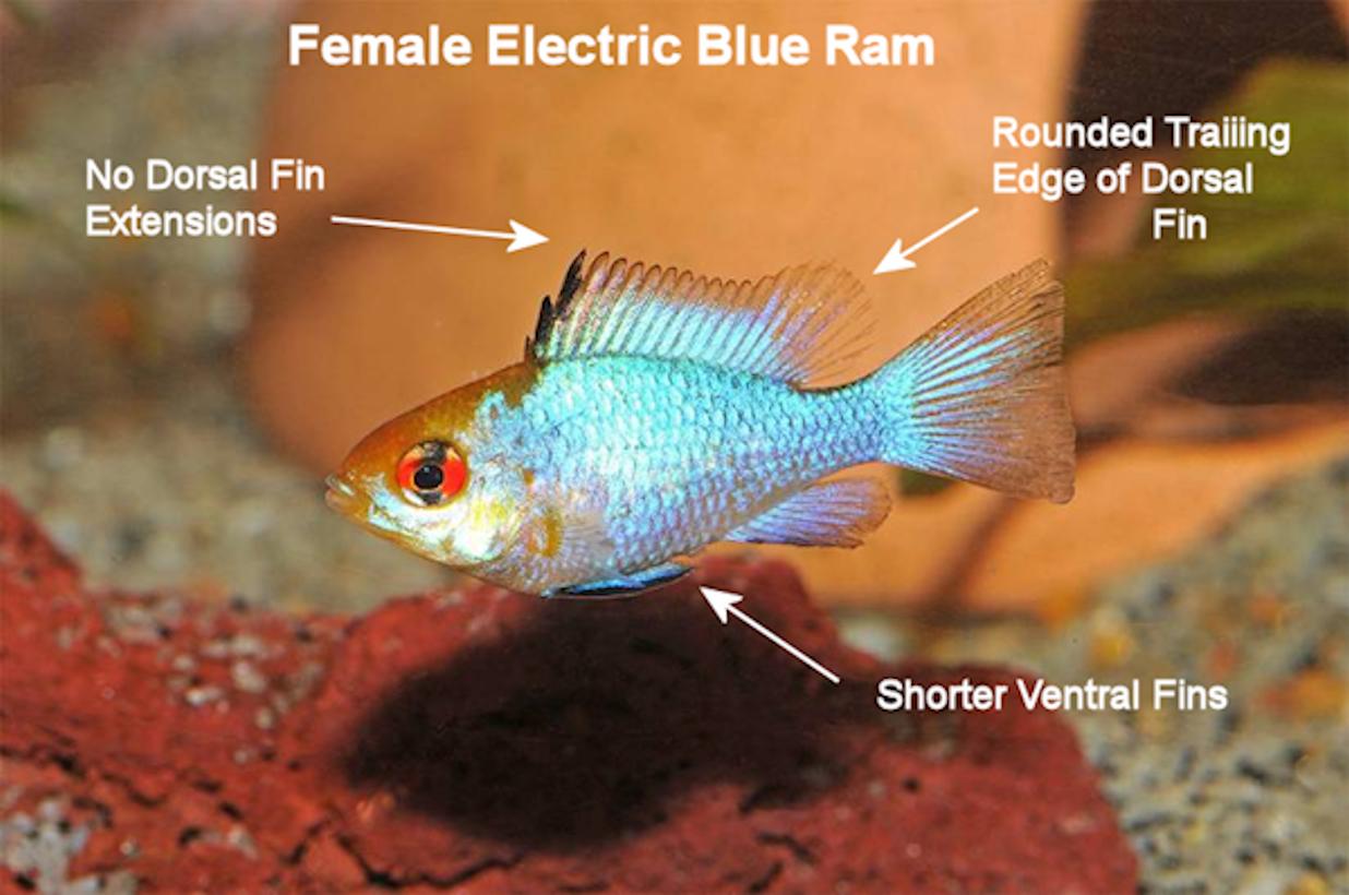 Mj Female Ebr Fs Electric Blue Ram Freshwater Fish Fish Pet