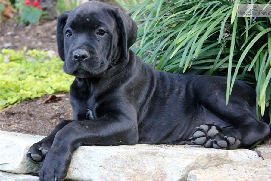 Meet Daniel a cute Cane Corso Mastiff puppy for sale for