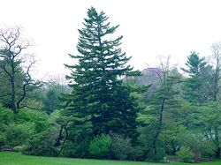 Needle fir | Abies holophylla    37-7979-A  Height: 82  Spread: 52  DBH: 37.2  Native to northern China and Korea.