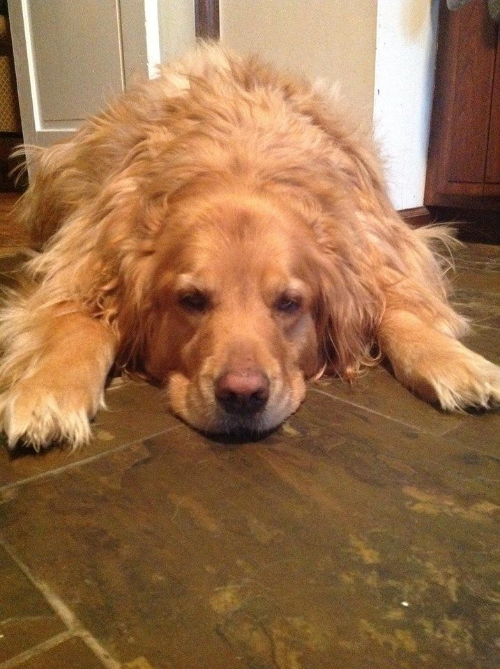 Hurley The Giant Golden Retriever Looks Like Our Girl Skye