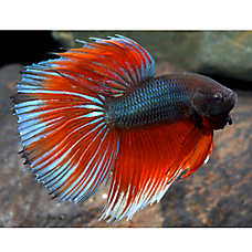 Pet Fish For Sale Tropical And Freshwater Fish Petsmart In 2020 Pet Fish Betta Halfmoon Betta