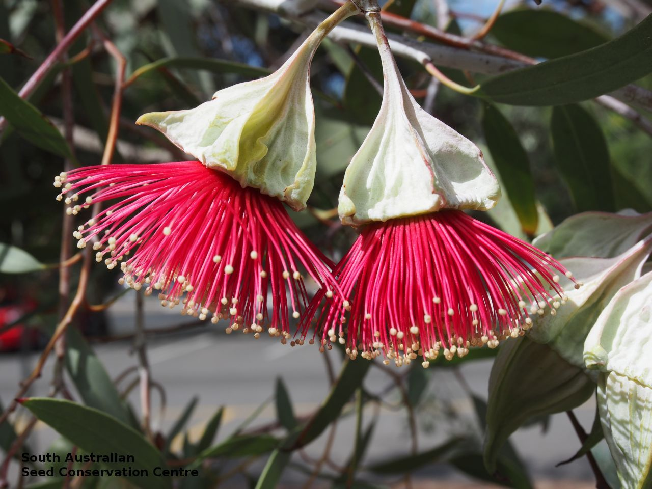 flower eucalyptus alatissima flower Australian native