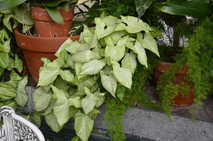 Pflanzen Für Dunkle Ecken pflanzen für dunkle ecken pfeilblatt als hängende pflanze ganz schön