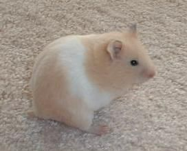 Cream banded syrian hamster.
