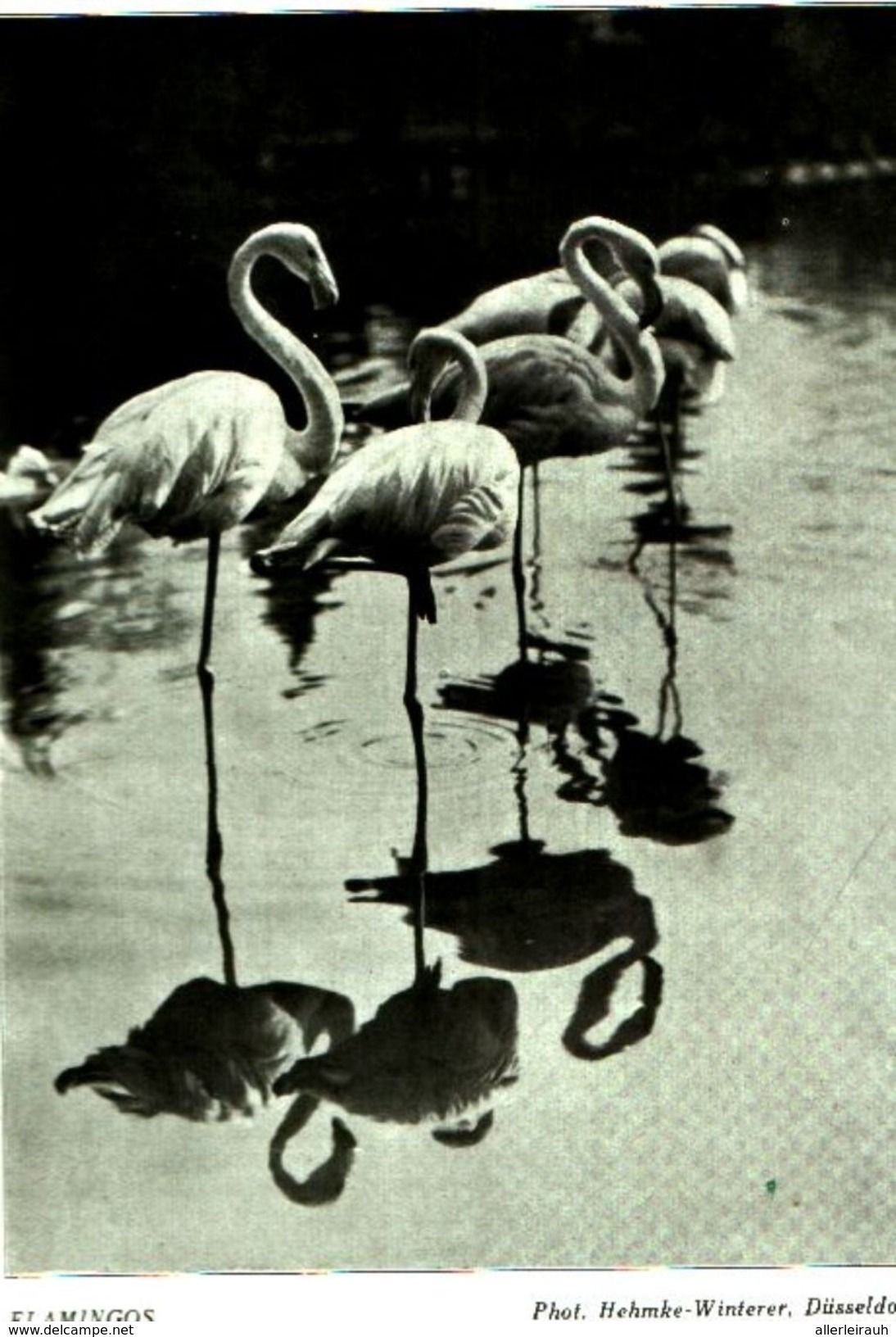 Flamingos (Photo Hehmke Winterer, Düsseldorf) / Druck