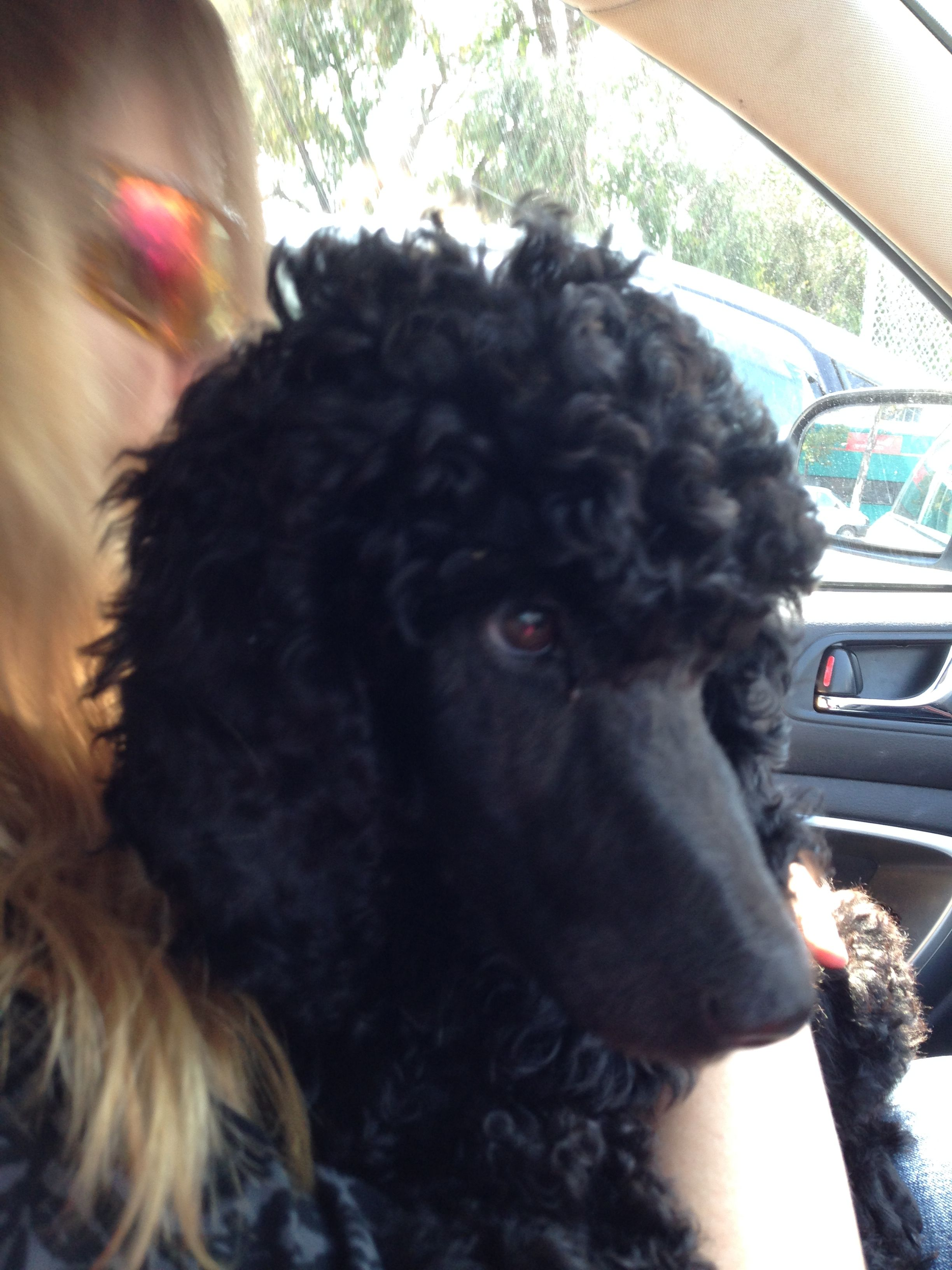 My Beautiful Standard Poodle Puppy On The Way Home From Picking