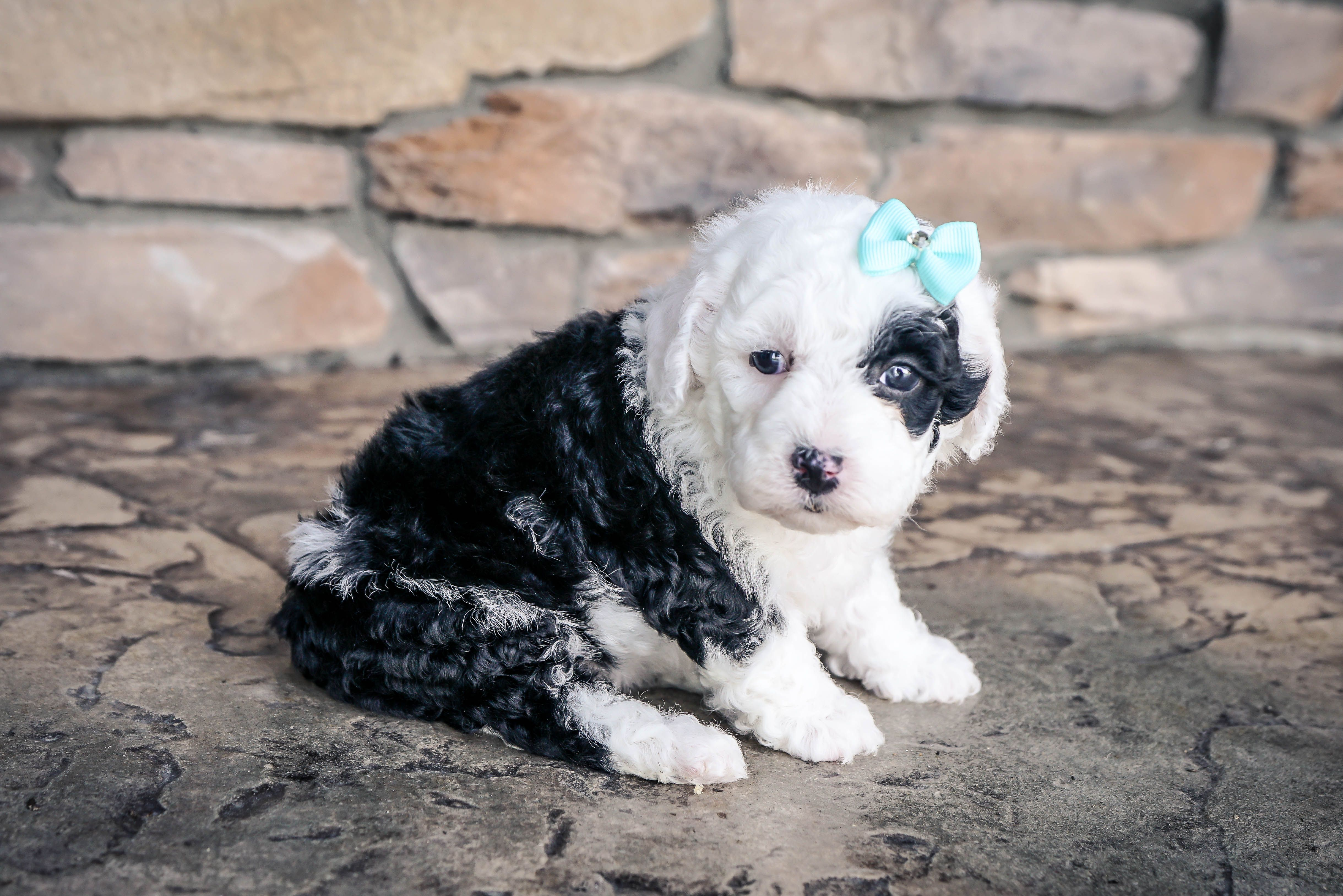 Meet Mila Female Mini Sheepadoodle For Sale In Sugarcreek Oh