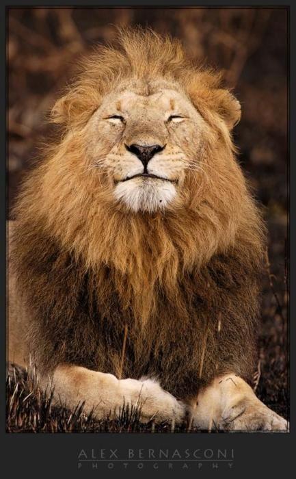 Happy lion | Animals beautiful, Funny animals, Big cats