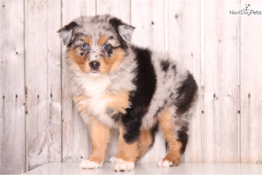 Cuddly Miniaustralianshepherdmix Cute Dogs And Puppies Puppies