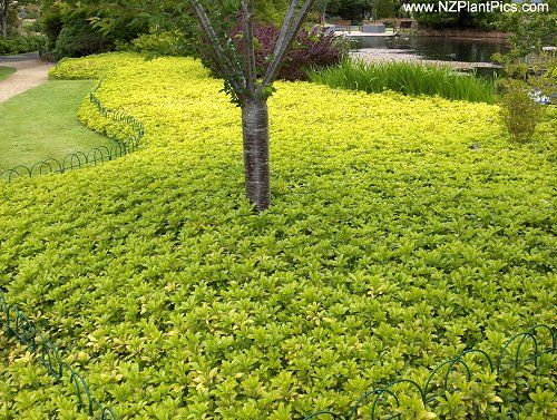 Pachysandra pachysandra terminalis perennial ground for Low growing landscape plants