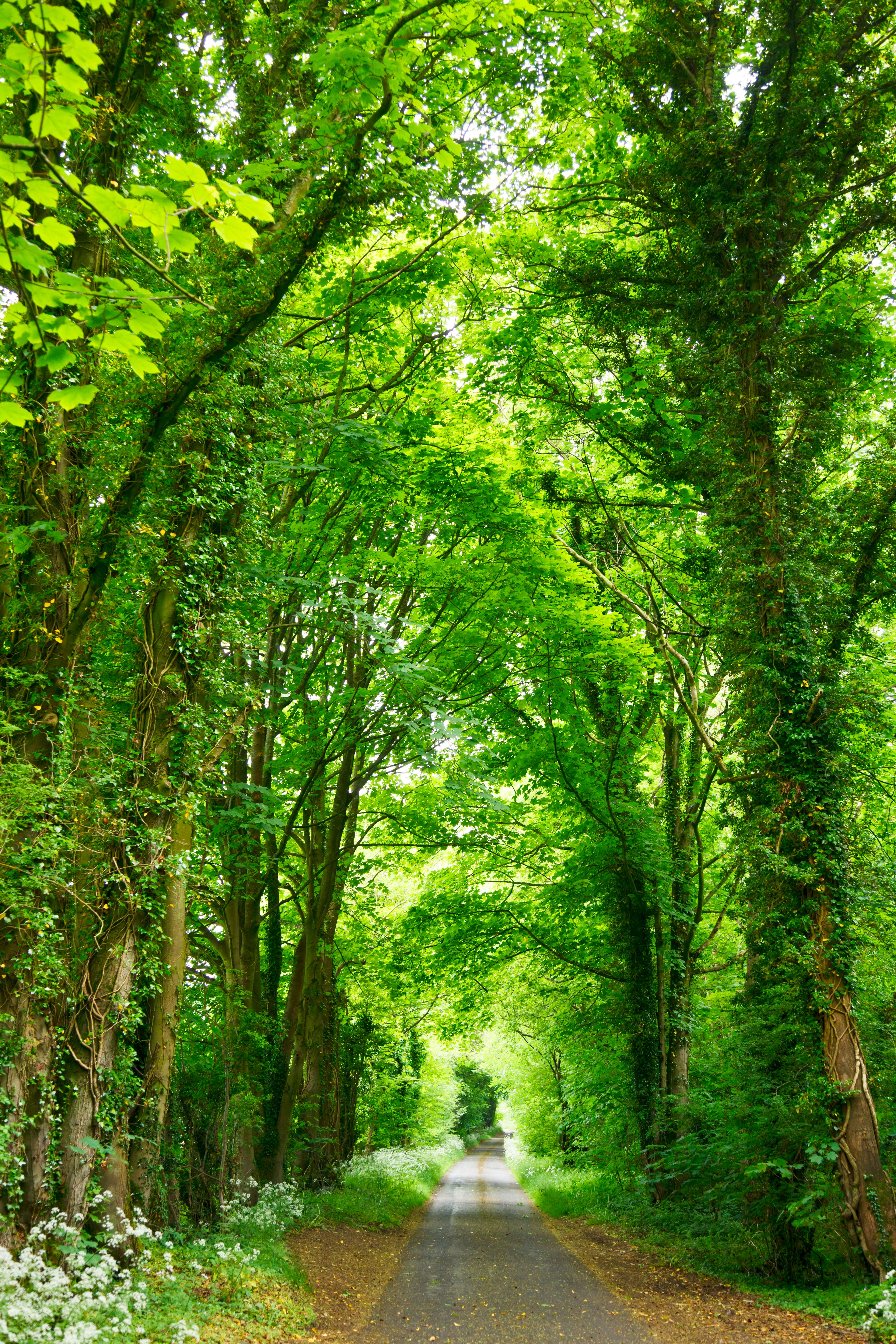 [HD Wallpaper] A narrow road lined with fresh green trees