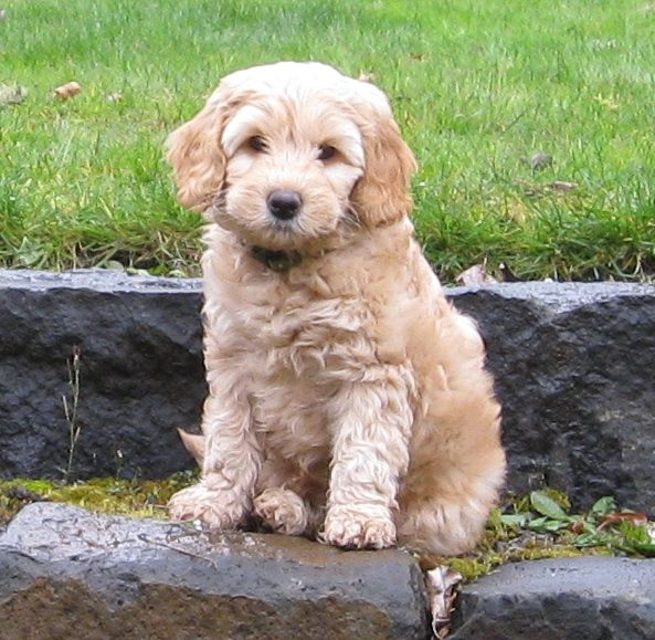 Mini Labradoodle Google Search