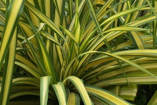Phormium 'Yellow Wave'(Yellow Wave Flax)    Arching 2in wide leaves with yellow variegation in the middle of the leaf. Full sun. Ht. 3-4ft. Zone 8. Evergreen.  Plant CharacteristicEvergreen  Exposurefull sun  ColorNone  Height3ft - 5ft  Bloom Time  HardinessZone 8  CategoryPerennials