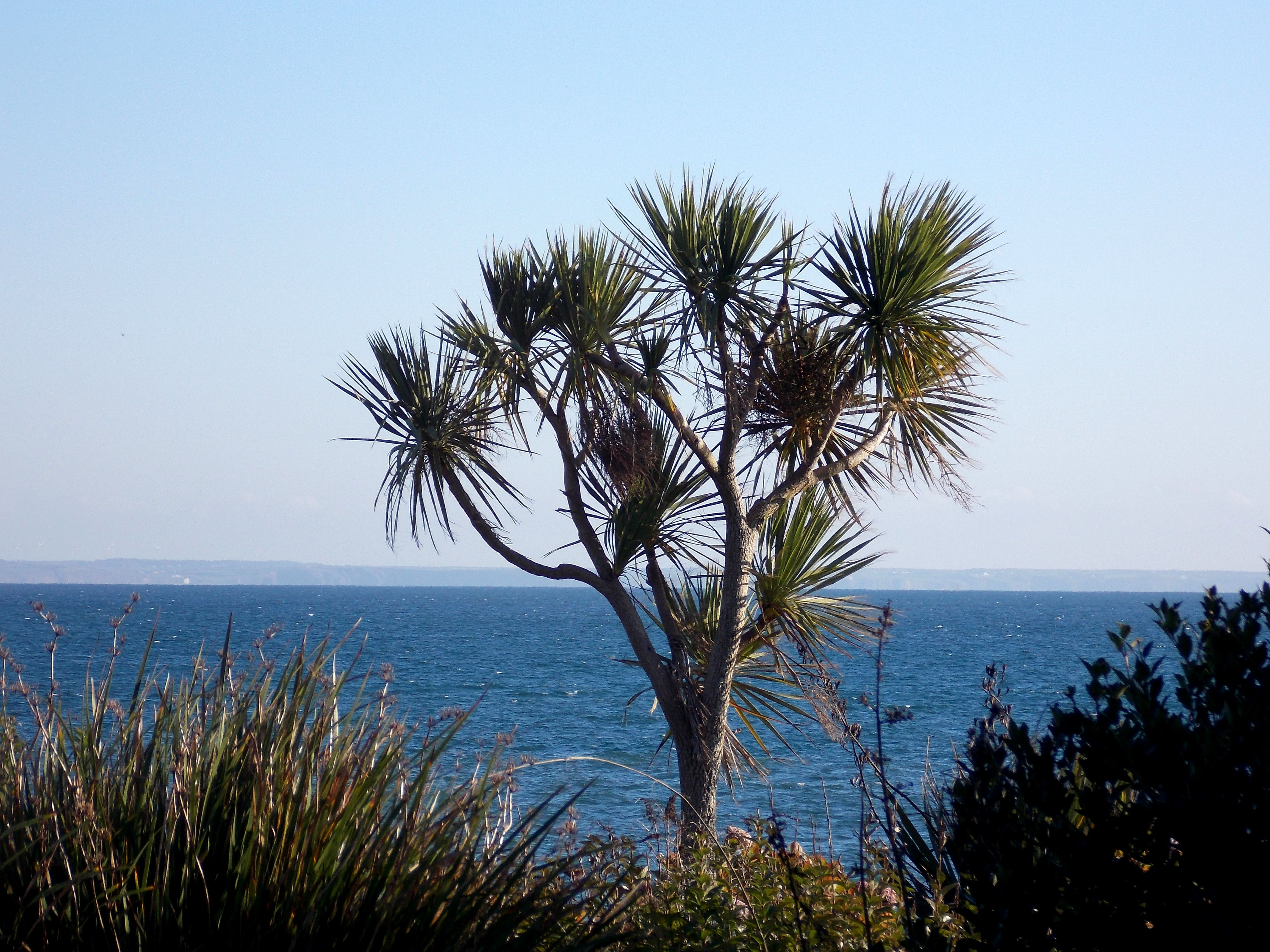 The collectors olivey place mylor bridge nr falmouth cornwall uk - Palm Tree With Mounts Bay In The Background Penzance