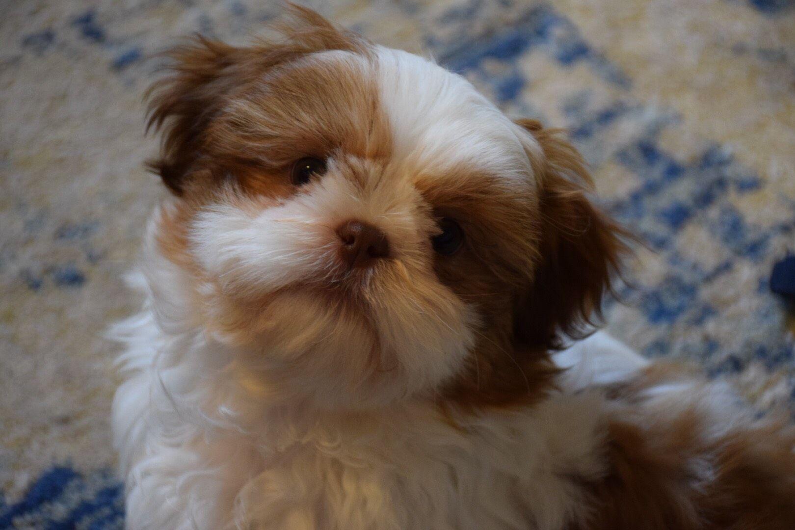 Revello Is A Red Liver Shih Tzu Puppy From Glory Ridge Shih Tzu
