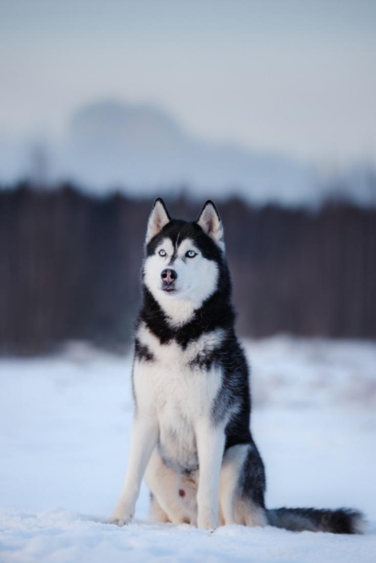 Pin On Huskies My Favorite