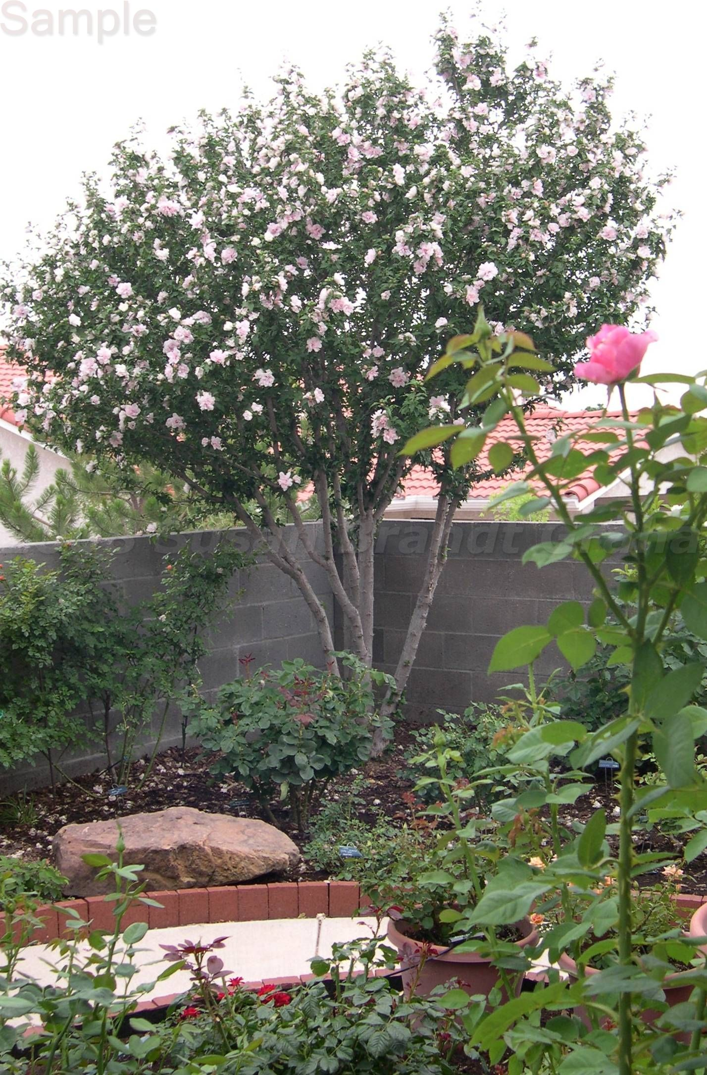 Blushingbridejune2708 001 Rose Of Sharon Tree Small City Garden Trees For Front Yard