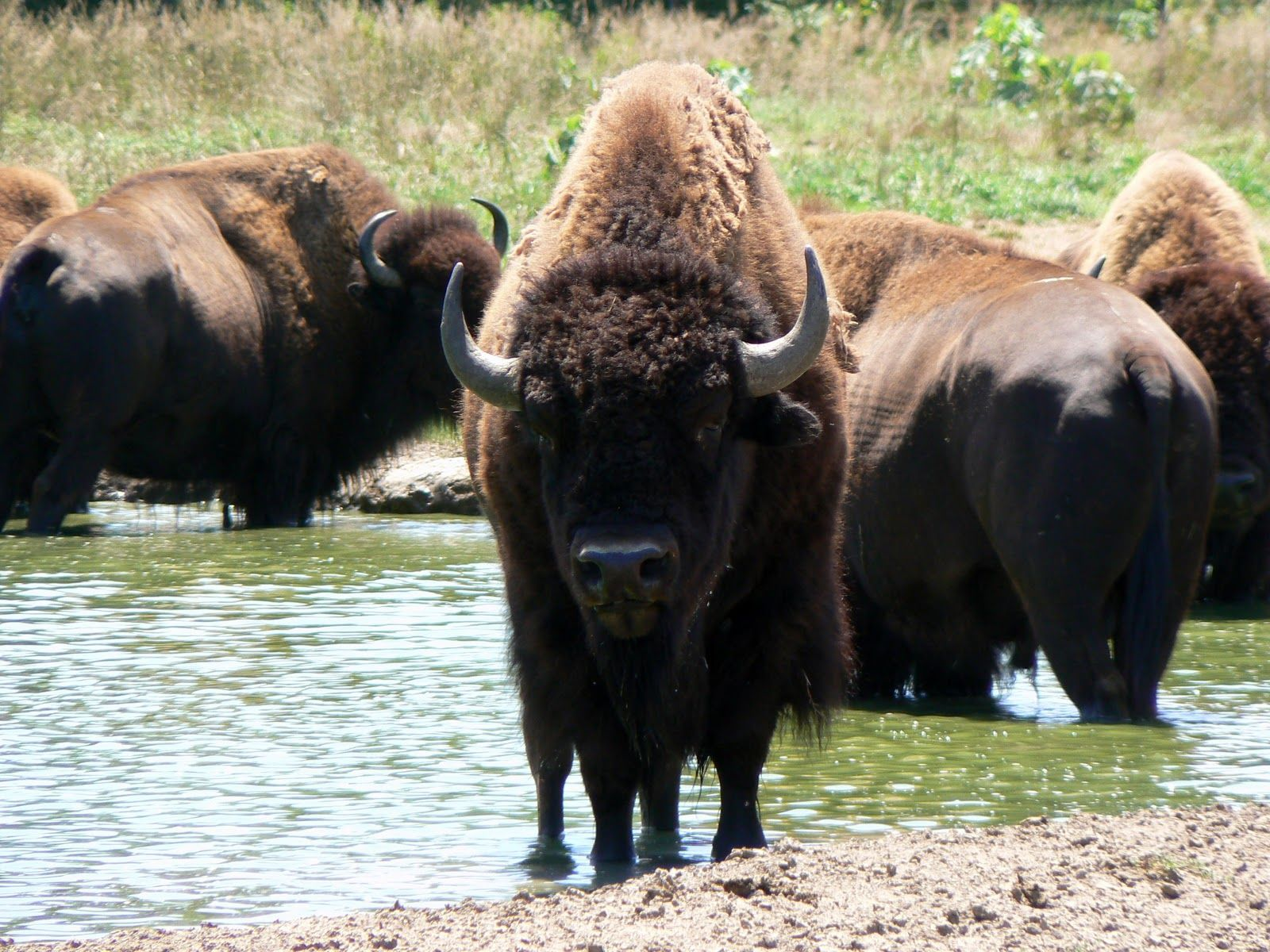 American Buffalo Being Forced From Natural Habitat (Video