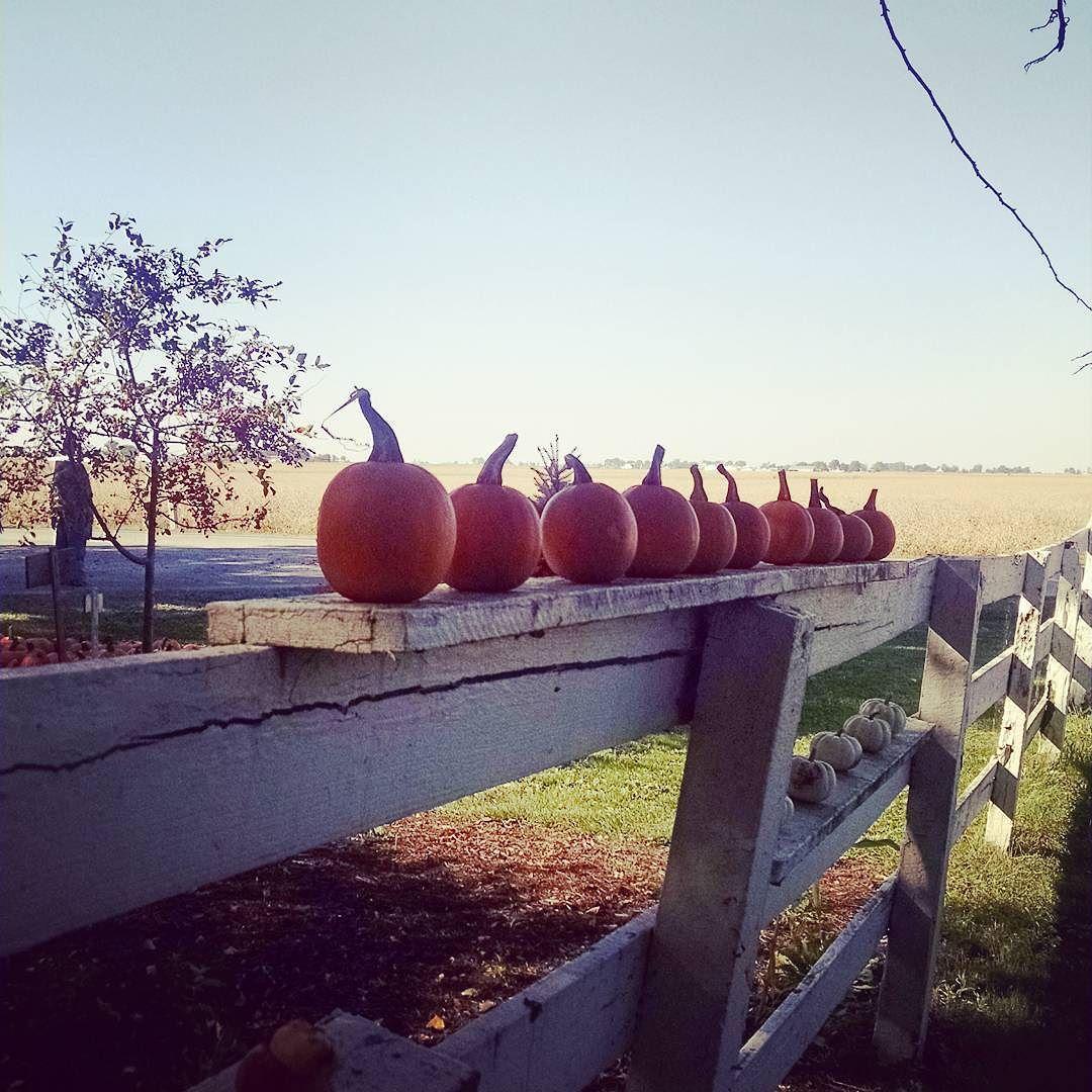 Twilight pumpkins  #fall #pumpkinpatch #illinois #travel #october