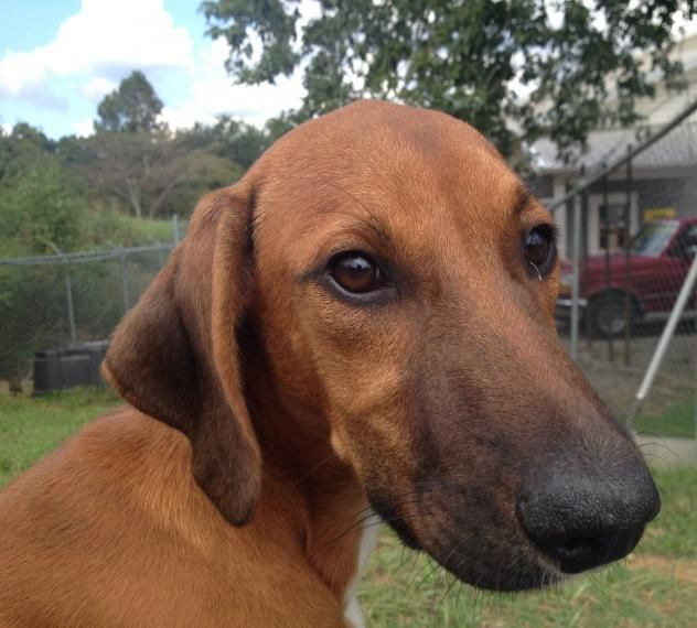 Cullman Al 5 Month Old M Redbone Named Duke Cullman County Shelter Https Www Petfinder Com Petdetail 395808 With Images Redbone Coonhound Coonhound Golden Retriever