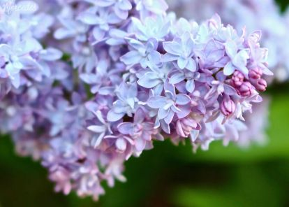 Rochester Lilac Festival Lilac, Close up photography