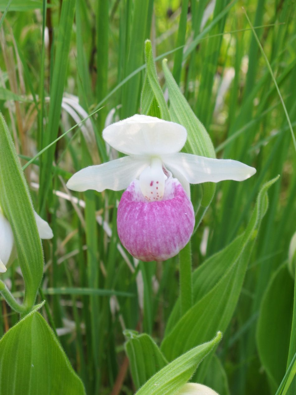Showy Lady Slipper (Moccasin Flower) (flowers ). Photo by minnesotamom