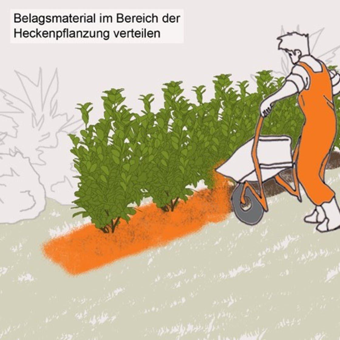 Kirschlorbeerhecke Pflanzen Schritt Fur Schritt Hecke Pflanzen