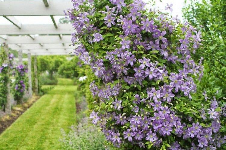 Schöne Kletterpflanzen clematis sorten arabella hell lila blueten sommer winterhart